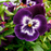 Purple Tricolor Wavy Viola Flower Seeds