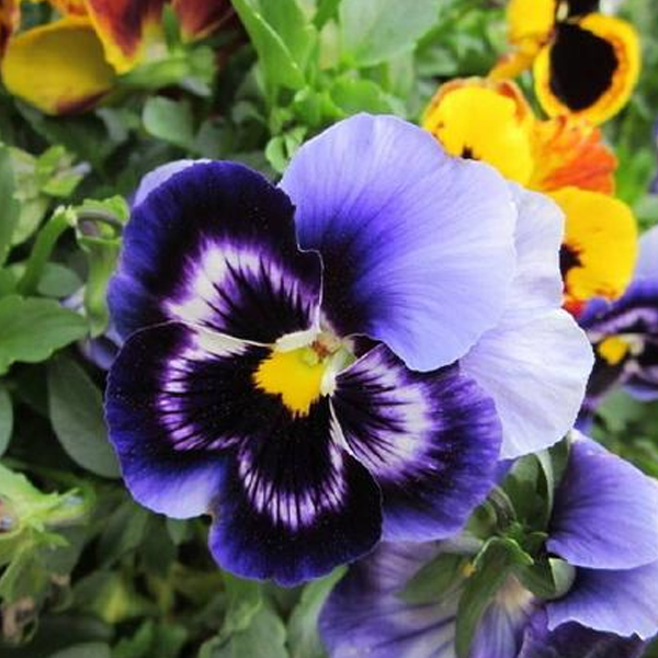 Blue Tricolor Viola Flower Seeds