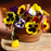 Mixed Color Wavy Viola Tricolor Flower Seeds