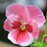 Pink Pansy Mix Color Wavy Viola Flower Seeds