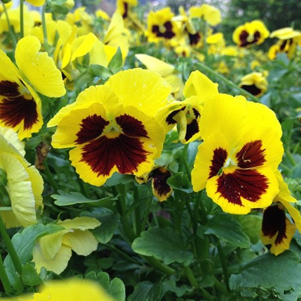 Yellow-Maroon Mix Color Wavy Viola Flower Seeds