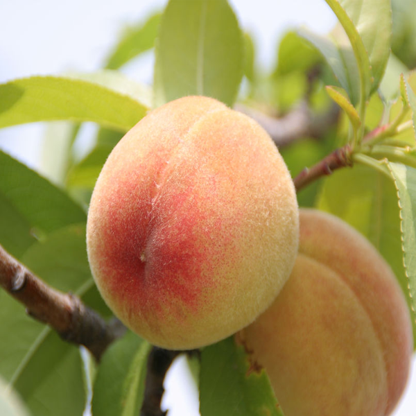 Small Potted Tree Flat King Peach Seeds