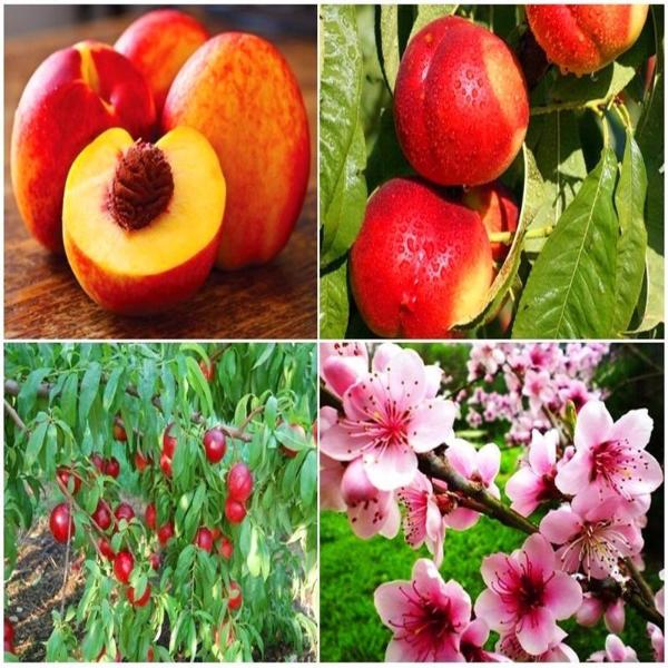 Nectarine Peach Fresh Fruit Seeds