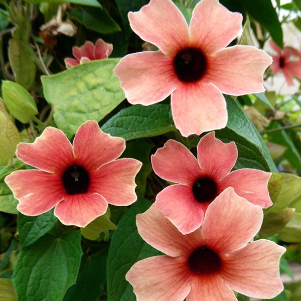 Peach Thunbergia Alata Flower Seeds