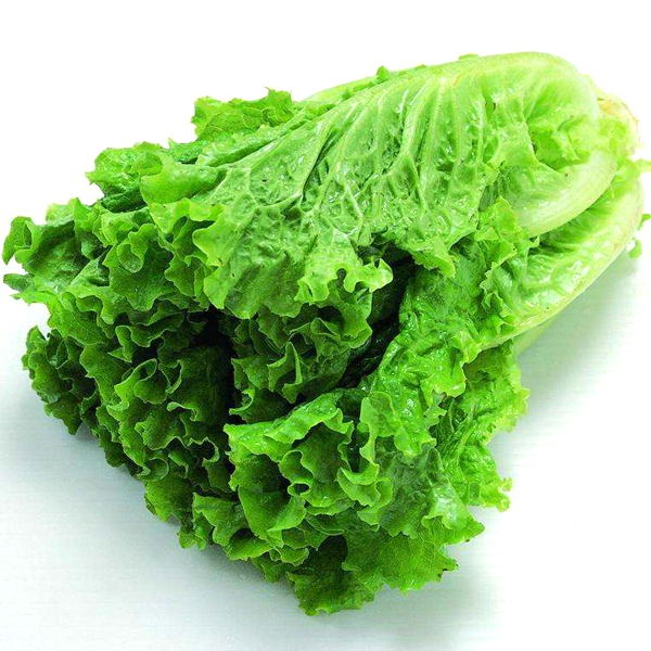 Butter Lettuce Vegetable Seeds Jack Seeds