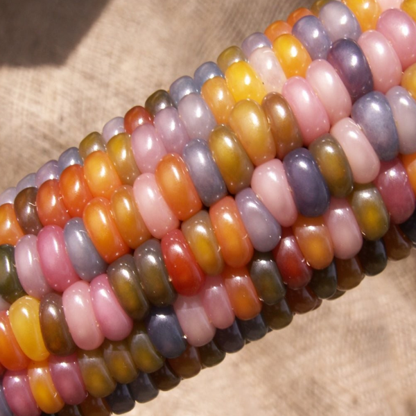 Sweet Rainbow Corn Seeds