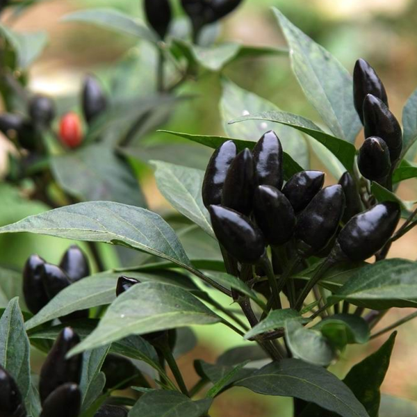 Black Chili Hot Pepper Seeds