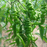 Spicy Green Spiral Chilli Pepper Seeds