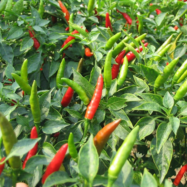 Serrano Chilli Pepper Seeds