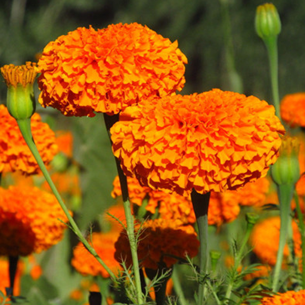 Orange Longevity Marigold Flower Seeds