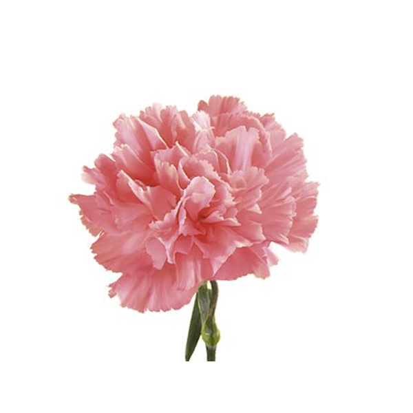 Pink Carnation Flower Seeds