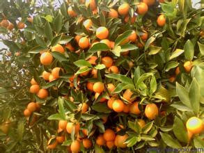 Climbing Orange Tree Seeds