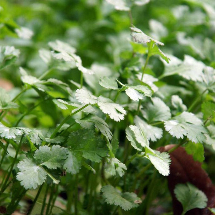 Cilantro Vegetable seeds