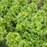 Glass Lettuce Vegetable Seeds