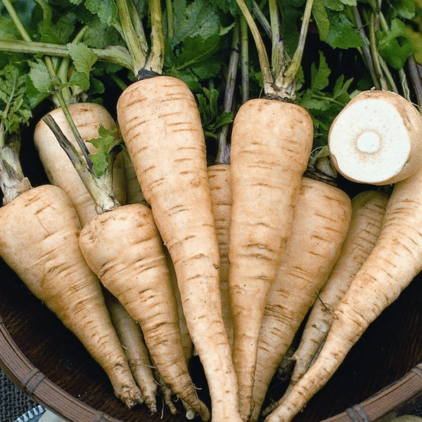 Parsnip Petrik Original Russian Heirloom Herb Seeds