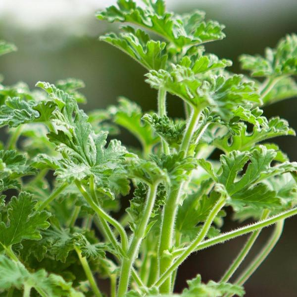 Buster vanilla Herb Seeds
