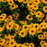 Summer Rudbeckia laciniata Yellow Flower Seeds