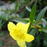 Yellow Jasmine Mirabilis Flower Seeds