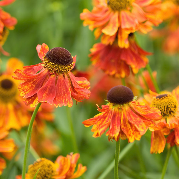 Orange Helenium Moerheim Beauty Flower Seeds