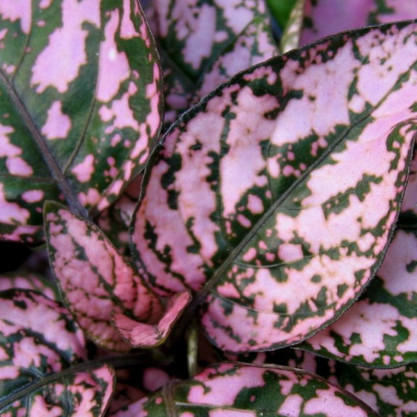Hypoestes Polka Dot Splash Pink Flower Seeds