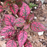 Hypoestes Polka Dot Plant Splash Rose Flower Seeds