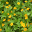 Melampodium Butter Daisy Flower Seeds