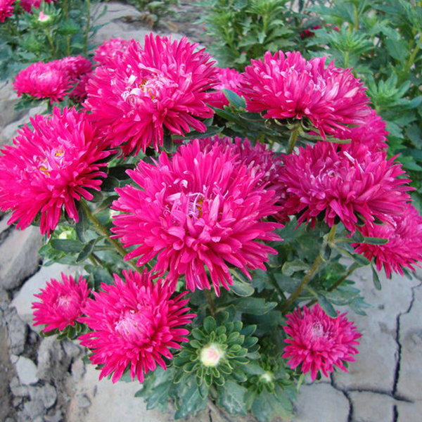 Hot Pink Aster Flower Seeds