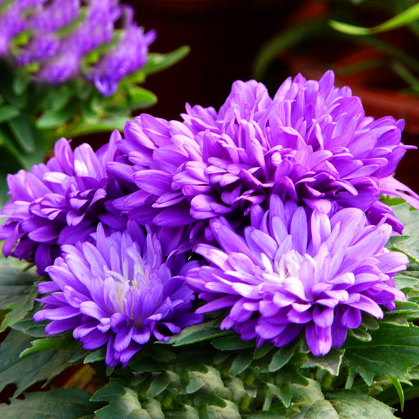 Purple Aster Flower Seeds
