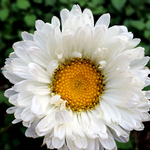 White Aster Flower Seeds