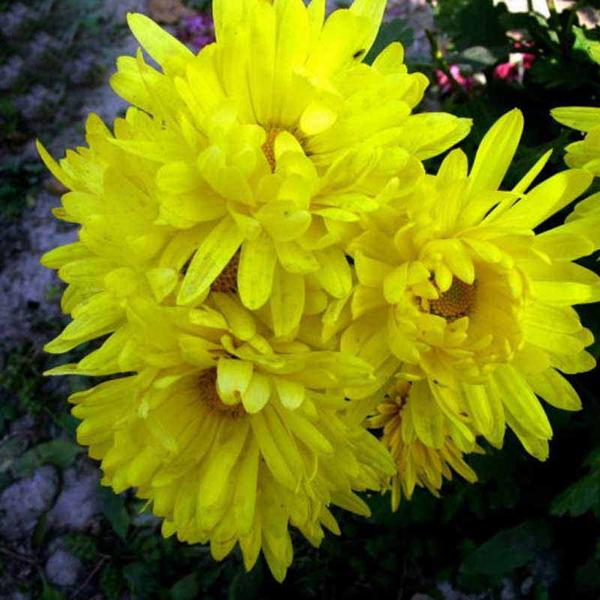 Yellow Aster Flower Seeds