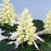 White Salvia Splendens Ornamental Flowers Seeds