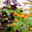 Maroon-Purple Salvia Splendens Ornamental Flower Seeds