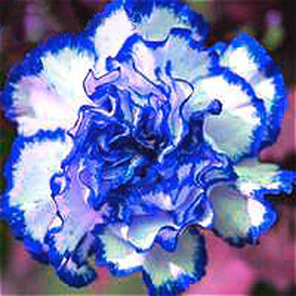 Dianthus Carnation Seeds