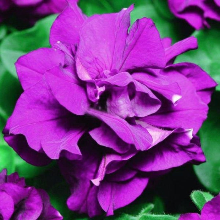 Petunia Petals Seeds Purple Petunia Petals Garden Home Bonsai Balcony Flower Petunia Flower Seeds