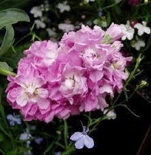 CINDERELLA PINK EVENING OR NIGHT SCENTED STOCK FLOWER SEEDS / ANNUAL