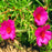 Mixed Color Moss-Rose Purslane Double Flower Seeds For Planting (Portulaca Grandiflora) Heat Tolerant easy growing 4