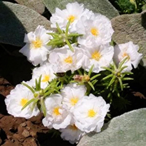 Mixed Color Moss-Rose Purslane Double Flower Seeds For Planting (Portulaca Grandiflora) Heat Tolerant easy growing 1