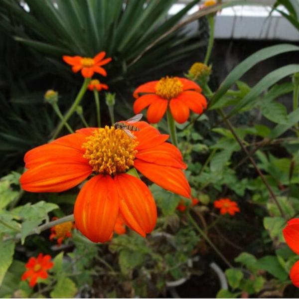Tithonia Rotundifolia Sunflower Seed