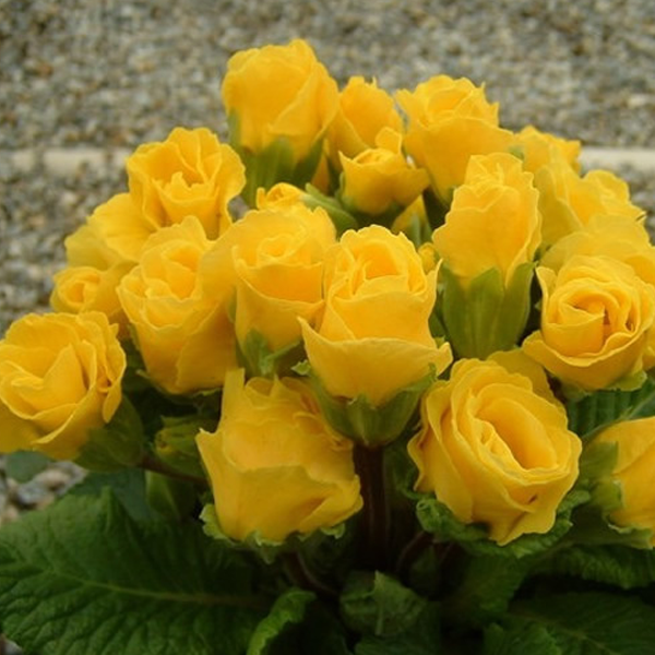 Light Yellow Rose Primula Seeds