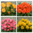Mixed Colors Rose Primula Seeds