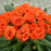 Orange Rose Primula Seeds