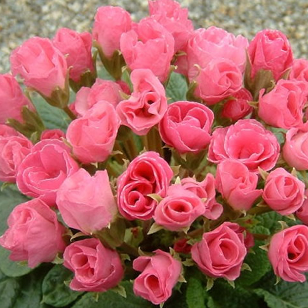 Pink Rose Primula Seeds