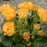 Yellow Rose Primula Seeds