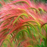 Pink Foxtail Barley Ornamental Grass Seeds