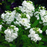White Evening Or Night Scented Stock Flower Seeds