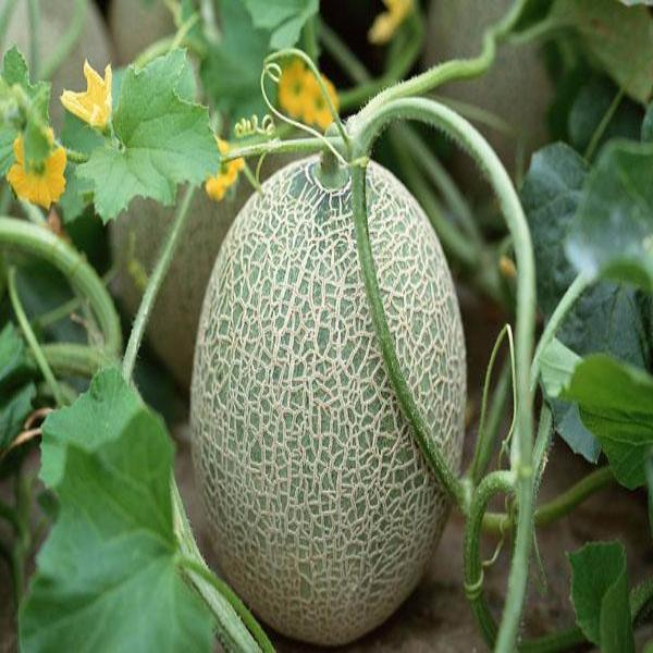 10 Ways To Style Your Very Own Vegetable Garden: Cantaloupe Melon Seeds
