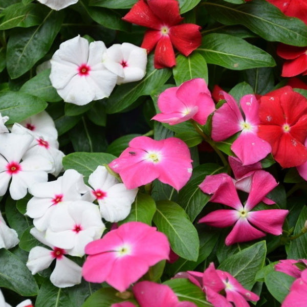 Mixed Red, Pink and White Vinca Periwinkle Seeds