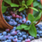 Potted Blueberry Fruit Seeds