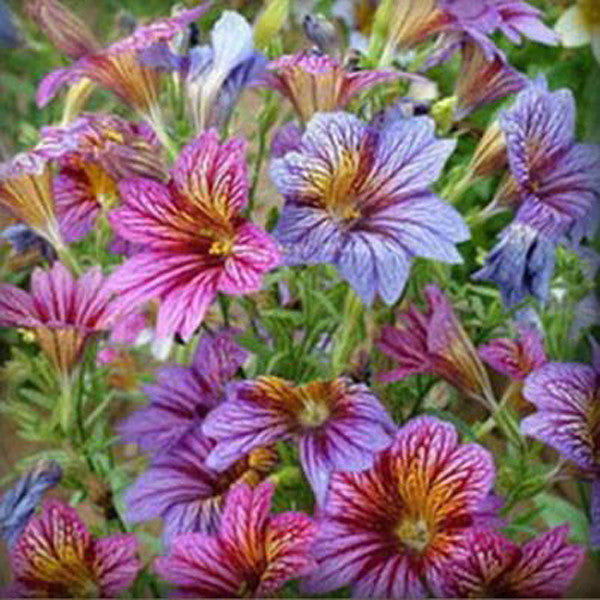 Salpiglossis Seeds Chile Morning Glory Seeds Balcony Potted Plants Ipomoea Nil Flowers for Rooms 3