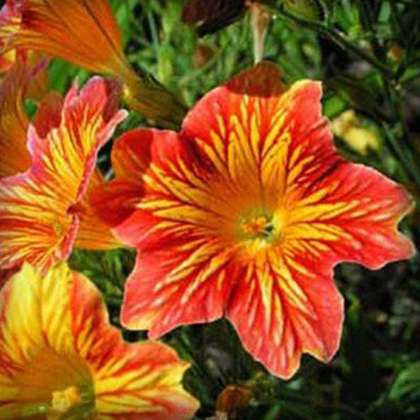 Salpiglossis Seeds Chile Morning Glory Seeds Balcony Potted Plants Ipomoea Nil Flowers for Rooms 5